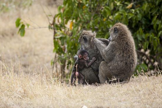 Africa, Kenya, Maasai Mara, Family of Baboon Monkeys-Hollice Looney-Photographic Print