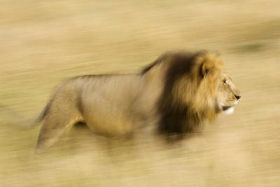 https://imgc.artprintimages.com/img/print/africa-kenya-maasai-mara-motion-blur-of-walking-male-lion_u-l-q1ga3f10.jpg?p=0