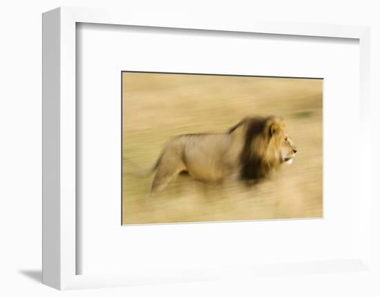 Africa, Kenya, Maasai Mara. Motion blur of walking male lion.-Jaynes Gallery-Framed Photographic Print