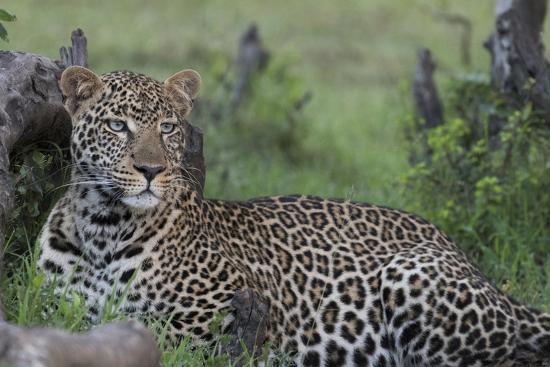 Africa, Kenya, Maasai Mara National Reserve. Resting leopard.-Jaynes Gallery-Photographic Print