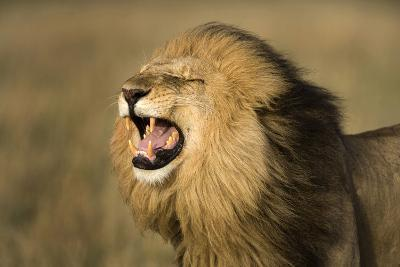 Africa, Kenya, Masai Mara Game Reserve. Male Lion Roaring-Jaynes Gallery-Photographic Print