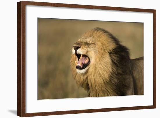 Africa, Kenya, Masai Mara Game Reserve. Male Lion Roaring-Jaynes Gallery-Framed Photographic Print