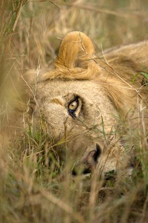 https://imgc.artprintimages.com/img/print/africa-kenya-masai-mara-game-reserve-male-lion-sleeping-in-grass_u-l-q12tdf20.jpg?p=0
