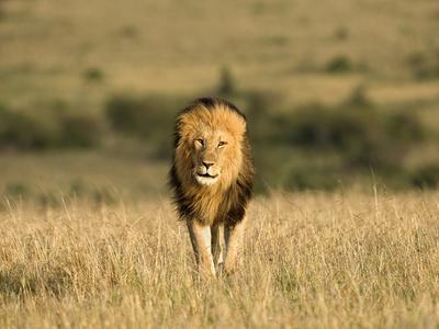 https://imgc.artprintimages.com/img/print/africa-kenya-masai-mara-game-reserve-male-lion-walking-in-dry-grass_u-l-q12tdea0.jpg?p=0