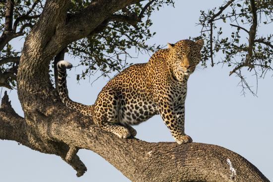 Africa, Kenya, Masai Mara National Reserve, African Leopard in tree.-Emily Wilson-Premium Photographic Print
