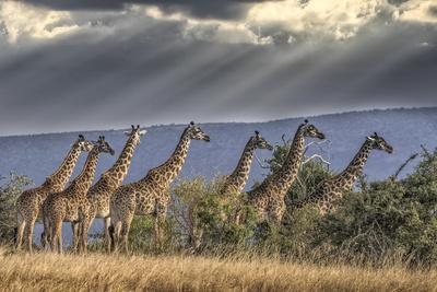 https://imgc.artprintimages.com/img/print/africa-kenya-masai-mara-national-reserve-group-of-giraffes-and-stormy-sky_u-l-q1blkaj0.jpg?p=0
