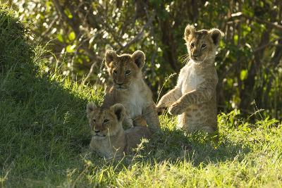 Africa Lion Cubs Playing-Mary Ann McDonald-Photographic Print