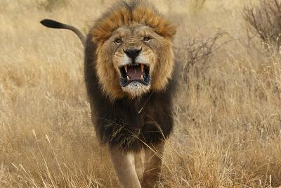 Africa, Namibia. Aggressive Male Lion-Jaynes Gallery-Photographic Print