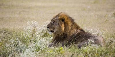 Africa, Namibia, Etosha National Park. Adult Male Lion Resting-Jaynes Gallery-Photographic Print
