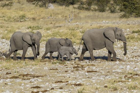 Africa, Namibia, Etosha National Park  Family of elephants walking  Photographic Print by Hollice Looney | Art com