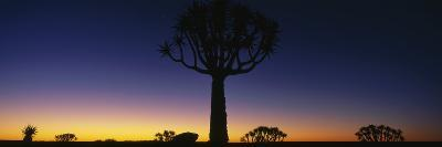 Africa, Namibia, Kokerboom Preserve, Quiver Tree--Photographic Print