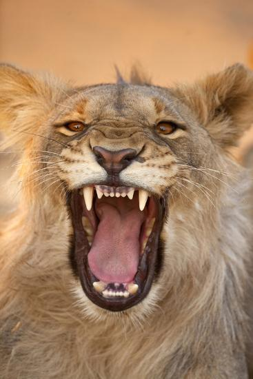 Africa, Namibia. Male Lion Growling-Jaynes Gallery-Photographic Print