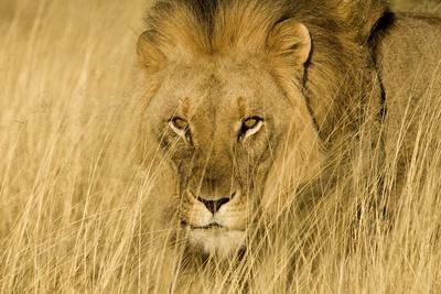 https://imgc.artprintimages.com/img/print/africa-namibia-male-lion-in-dry-grass_u-l-q12tddr0.jpg?p=0