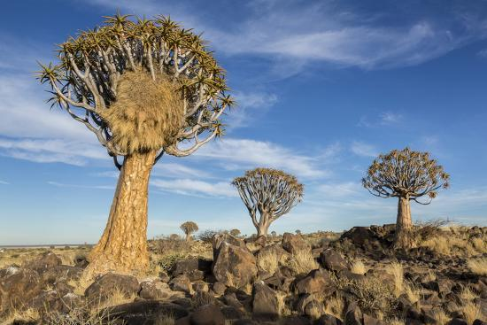 Africa, Namibia. Quiver Trees and Boulders-Jaynes Gallery-Photographic Print