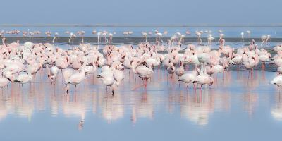 Africa, Namibia, Walvis Bay. Group of Greater Flamingos-Jaynes Gallery-Photographic Print