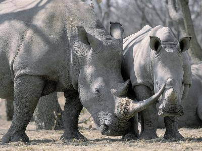 Africa, Namibia. White Rhino Mother and Calf-Jaynes Gallery-Photographic Print
