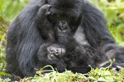 https://imgc.artprintimages.com/img/print/africa-rwanda-volcanoes-national-park-female-mountain-gorilla-with-her-young_u-l-q1d3lip0.jpg?p=0