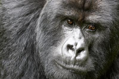 https://imgc.artprintimages.com/img/print/africa-rwanda-volcanoes-national-park-portrait-of-a-silverback-mountain-gorilla_u-l-q1d3hnf0.jpg?p=0