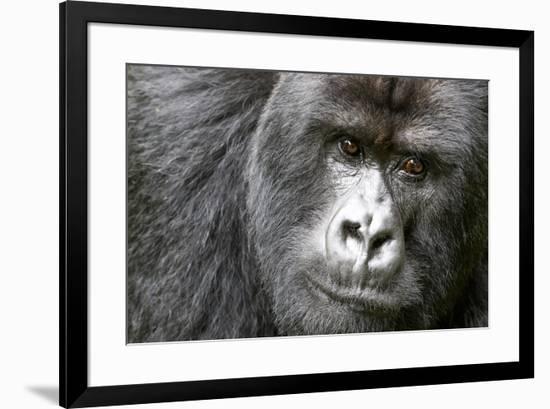 Africa, Rwanda, Volcanoes National Park. Portrait of a silverback mountain gorilla.-Ellen Goff-Framed Premium Photographic Print