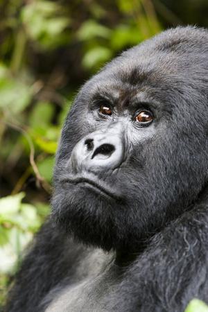 https://imgc.artprintimages.com/img/print/africa-rwanda-volcanoes-national-park-portrait-of-a-silverback-mountain-gorilla_u-l-q1d3ib30.jpg?p=0