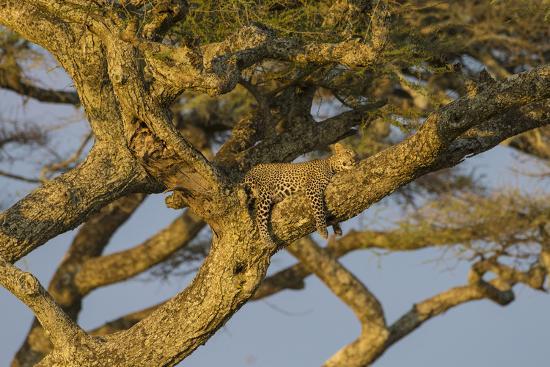 Africa. Tanzania. African leopard napping in a tree, Serengeti National Park.-Ralph H^ Bendjebar-Premium Photographic Print