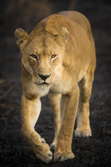Africa. Tanzania. African lioness Serengeti National Park.-Ralph H^ Bendjebar-Photographic Print