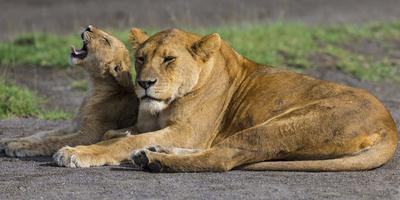 https://imgc.artprintimages.com/img/print/africa-tanzania-african-lions-at-ndutu-serengeti-national-park_u-l-q1bln190.jpg?p=0
