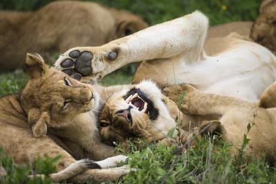 africa tanzania african lions at ndutu, serengeti national parktanzania african lions at ndutu, serengeti national park premium photographic print by ralph h bendjebar art com
