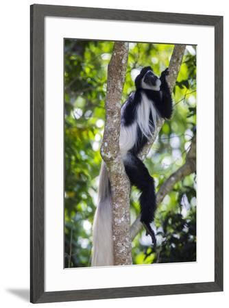 Africa. Tanzania. Black and White Colobus at Arusha National Park.-Ralph H^ Bendjebar-Framed Premium Photographic Print