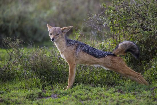Africa. Tanzania. Black-backed jackal stretches after a nap, Serengeti National Park.-Ralph H^ Bendjebar-Premium Photographic Print