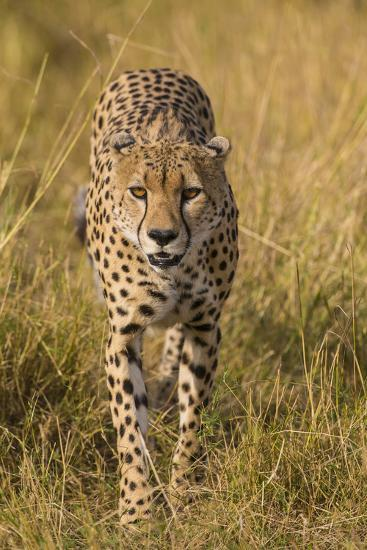 Africa. Tanzania. Cheetah hunting on the plains of the Serengeti, Serengeti National Park.-Ralph H^ Bendjebar-Premium Photographic Print