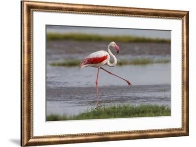 Africa. Tanzania. Greater flamingo in Serengeti National Park.-Ralph H. Bendjebar-Framed Photographic Print