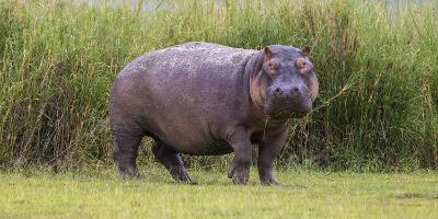 Africa. Tanzania. Hippopotamus, Serengeti National Park.-Ralph H^ Bendjebar-Photographic Print
