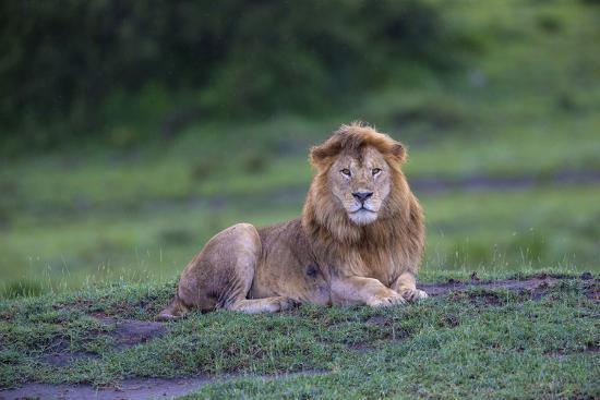 Africa. Tanzania. Male African Lion at Ndutu, Serengeti National Park.-Ralph H^ Bendjebar-Photographic Print