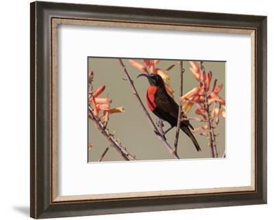 Africa, Tanzania, Ndutu. Scarlet-chested Sunbird (Chalcomitra senegalensis)-Charles Sleicher-Framed Photographic Print