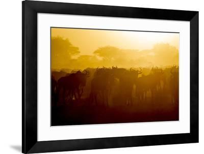Africa. Tanzania. Wildebeest during the Migration, Serengeti National Park.-Ralph H^ Bendjebar-Framed Premium Photographic Print