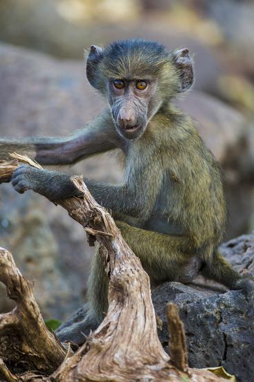 Africa. Tanzania. Yellow baboon, Papio cynocephalus, juvenile at Serengeti National Park.-Ralph H^ Bendjebar-Photographic Print