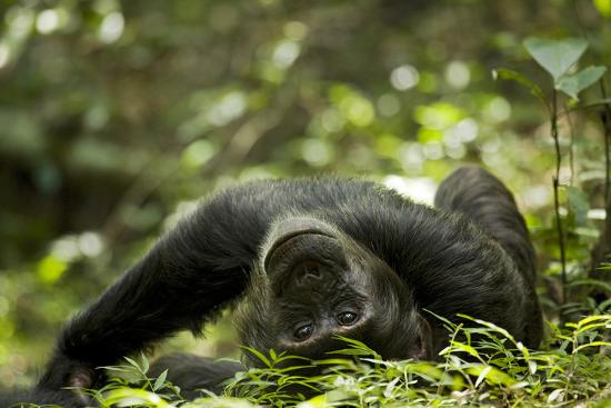 Africa, Uganda, Kibale National Park. A young adult male chimpanzee lying down on forest path.-Kristin Mosher-Premium Photographic Print