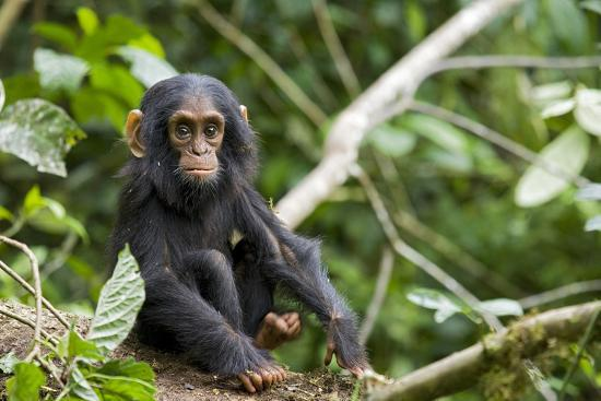 Africa, Uganda, Kibale National Park. An infant chimpanzee pauses briefly during play.-Kristin Mosher-Premium Photographic Print