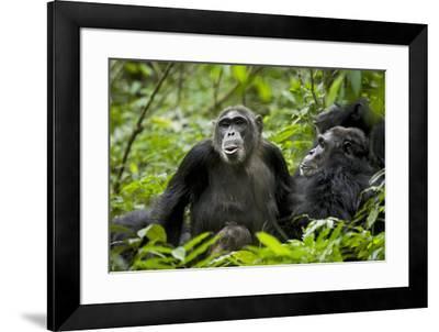 Africa, Uganda, Kibale National Park. Female chimp and her companion hooting.-Kristin Mosher-Framed Premium Photographic Print