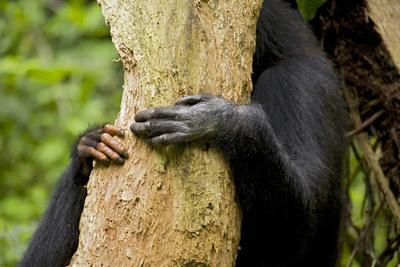 https://imgc.artprintimages.com/img/print/africa-uganda-kibale-national-park-hands-of-a-female-chimpanzee-and-her-offspring_u-l-q1d3hx90.jpg?p=0