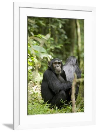 Africa, Uganda, Kibale National Park. Watchful young adult male chimpanzee named Peterson.-Kristin Mosher-Framed Premium Photographic Print