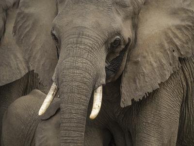 https://imgc.artprintimages.com/img/print/africa-zambia-close-up-front-view-of-elephant_u-l-q13c6mu0.jpg?p=0