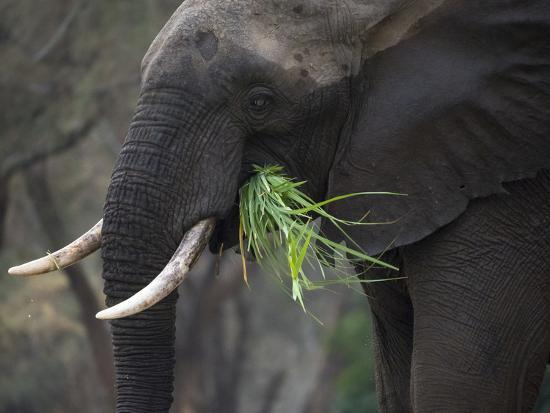 Africa, Zambia. Close-Up of Elephant Eating Grass-Jaynes Gallery-Photographic Print