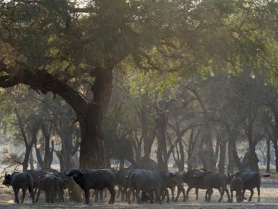 Africa, Zambia. Herd of Cape Buffaloes-Jaynes Gallery-Photographic Print