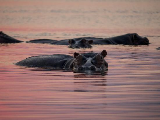 Africa, Zambia. Hippos in River at Sunset-Jaynes Gallery-Photographic Print