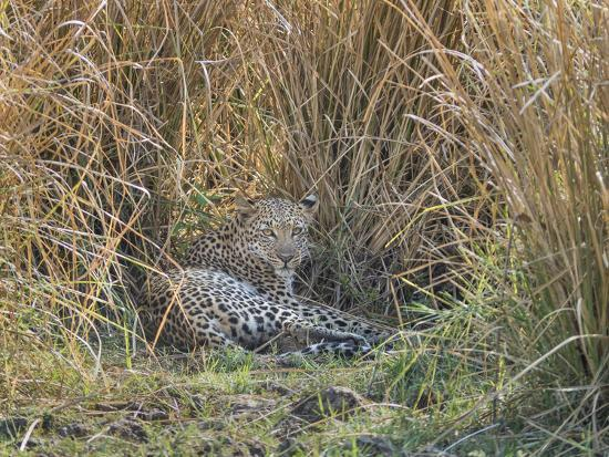 Africa, Zambia. Leopard Resting in Grass-Jaynes Gallery-Photographic Print