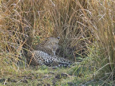 https://imgc.artprintimages.com/img/print/africa-zambia-leopard-resting-in-grass_u-l-q13bfd40.jpg?p=0