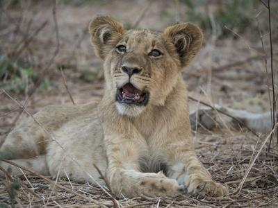 Africa, Zambia. Portrait of Lion Cub-Jaynes Gallery-Photographic Print