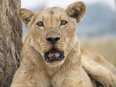 Africa, Zambia. Portrait of Lioness-Jaynes Gallery-Photographic Print
